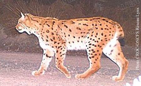 Lynx-des-Vosges.jpg