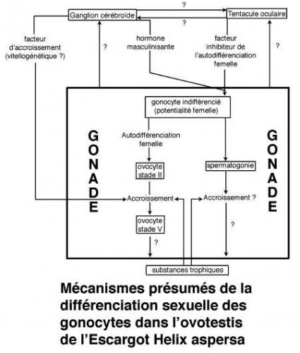 Fig_P_mécanismes_différenciation1.jpg