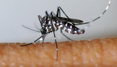 aedes albopictus,moustique tigre,dengue,chikungunya
