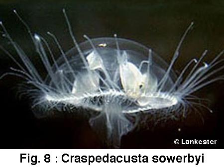 Craspedacusta-sowerbi-Lankester-450.jpg