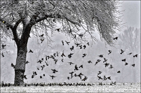 dominique delfino,photographe naturaliste et animalier,hiver,neige,pays de montbéliard,grive litorne