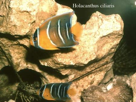 163Holacanthus ciliaris2-1.jpg