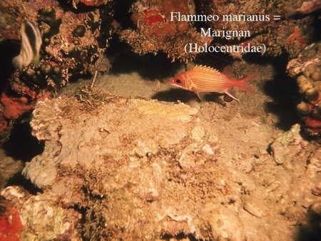 148Flammeo marianus2-1.jpg