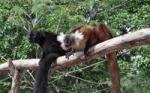 Eulemur macaco_7logo.jpg