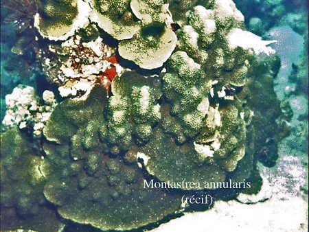 046Montastrea annularis1-1.jpg