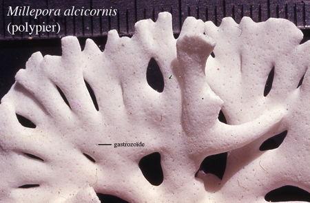 02Millepora_alcicornis3-1.jpg