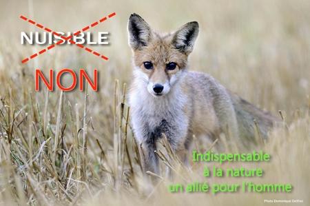 renard roux,collectif renard grand est