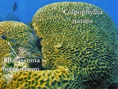 Colpophyllia_natans02-1.jpg