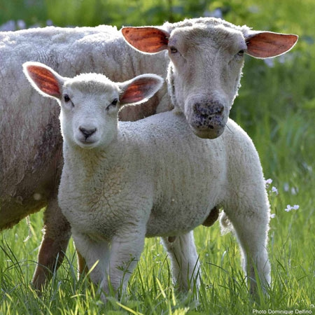Moutons-450.jpg