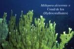 02Millepora alcicornis-1.jpg