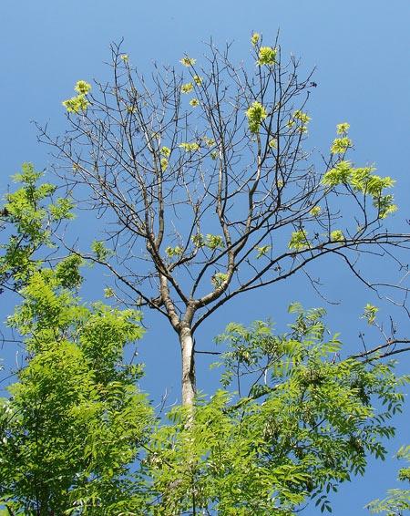 Frêne-atteint-de-Chalarose-450.jpg