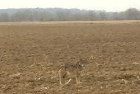 loup,jura,prédateurs,retour du loup,massif jurassien,foncine le haut
