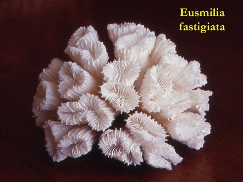 28Eusmilia-fastigiata1.jpg