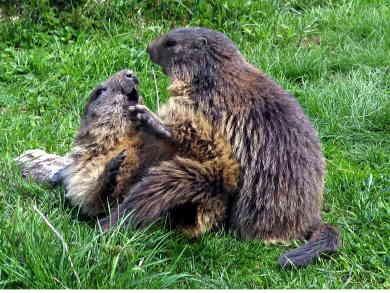 Marmota marmota051.jpg