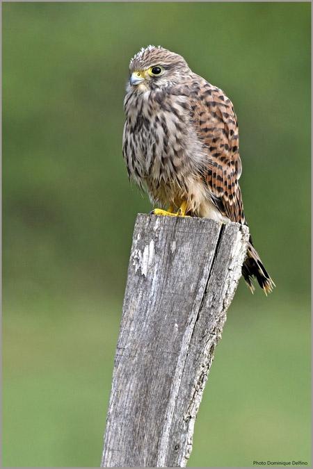 Faucon-crécerelle-450.jpg