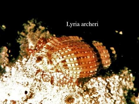 120Lyria archeri2-1.jpg
