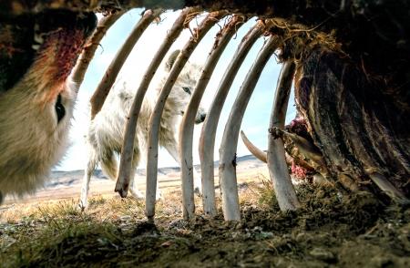 prédateurs arctiques,loups,herbivores arctiques,bisons,bœufs musqués