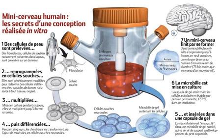 Mini-cerveau-humain-schéma-450.jpg