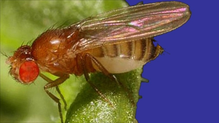 Drosophila_melanogaster-blog.jpg