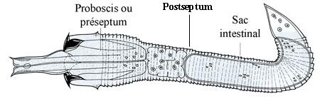 Gordiens-larve-échinodéroïde-450.jpg