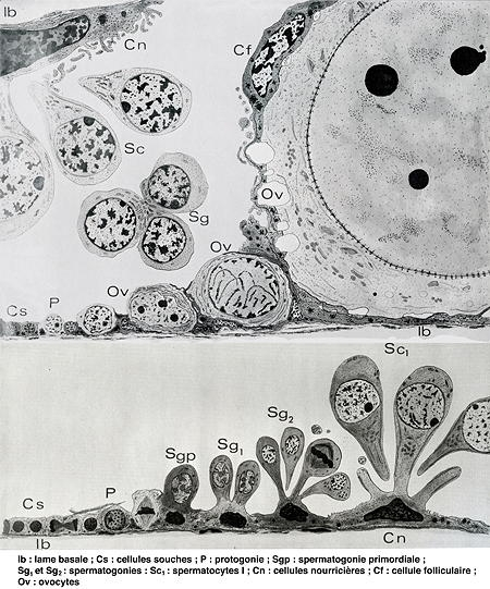 001-Cellules souches_escargot-1.jpg