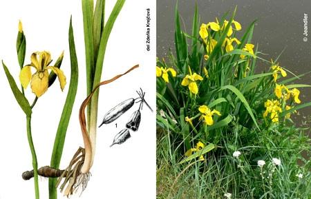 Iris-jaune-450.jpg