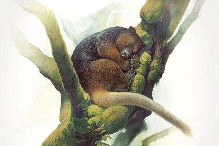 Kangourou arboricole-450.jpg