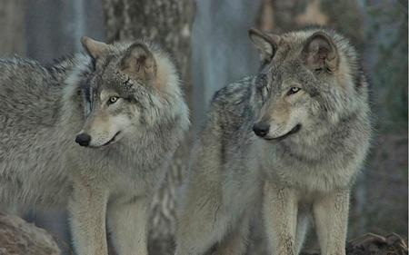 loup,retour du loup,inra