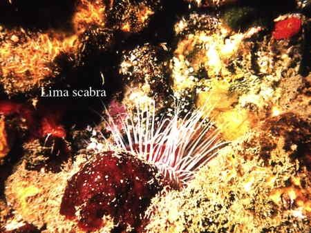 123Lima scabra2-1.jpg