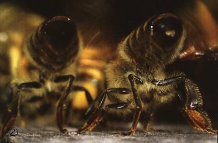 abeilles,pathologie des abeilles,nosema,gaucho