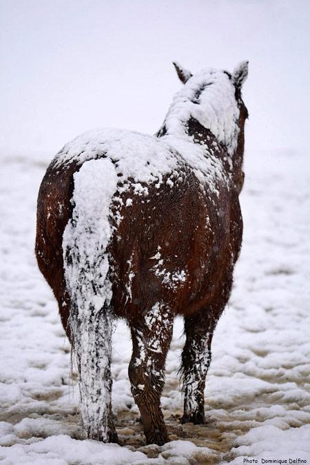 Cheval-comtois-neige-450.jpg
