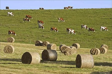 Vaches-montbéliardes-450.jpg