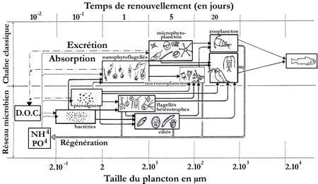 10.lacs_réseau trophique_Capblanq_4-1.jpg