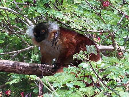 Eulemur macaco_1-1.jpg