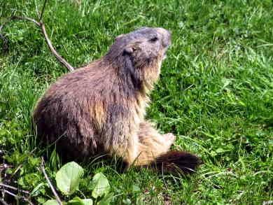Marmota marmota041.jpg