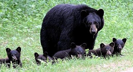 Ours-noir+5-petits-2007-450.jpg