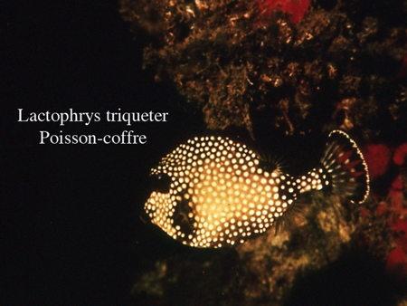 155Lactophrys triqueter2-1.jpg
