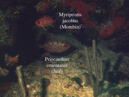 152Priocanthus cruentatus2-1.jpg