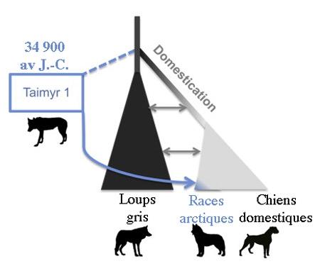 loup,chien,prédateurs,carnivores,mammifères,canidés