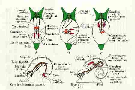 gastéropodes-anatomie-torsion.jpg