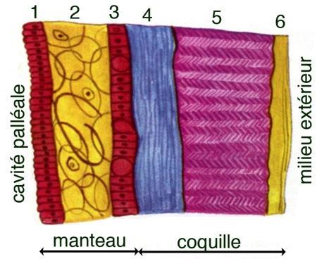 anodonta-coquille-manteau-1.jpg