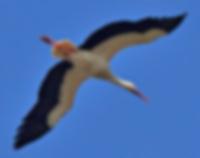 cigogne blanche,migrations oiseaux,migration printanière