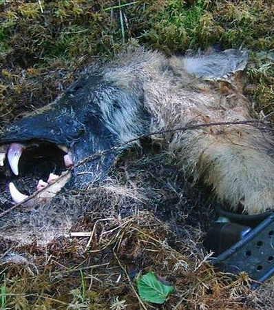 loup, suède,extinction d'espèces,prédation humaine,prédation,prédateurs, grands canidés,