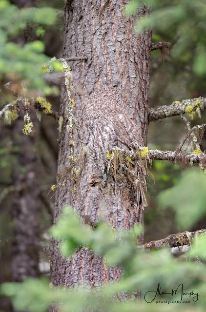 Chouette lapone-camouflage.jpeg