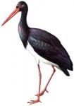 cigogne noire,dominique delfino,photographe naturaliste et animalier