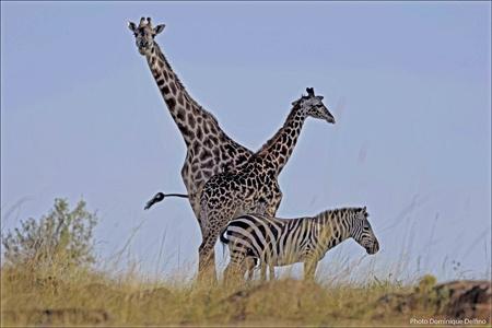 Girafes-450.jpg
