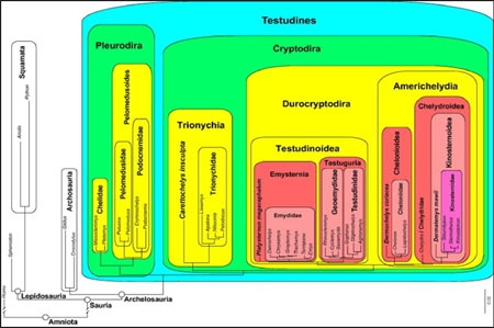 Phylogénie-des-tortues-450.jpg