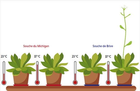 3-Arabidopsis thaliana450.jpg