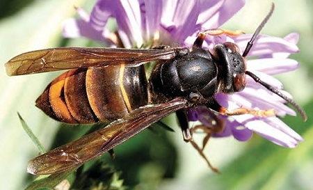espèces invasives,frelon asiatique,abeilles,piègeage