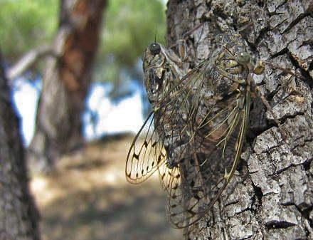 insectes,homoptères,cigale,cicadidés,cicadidae